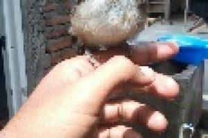 17 Cara Merawat Burung Kutilang biar Gacor dan Jinak